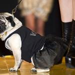 Inizia l'era dei cagnolini snob